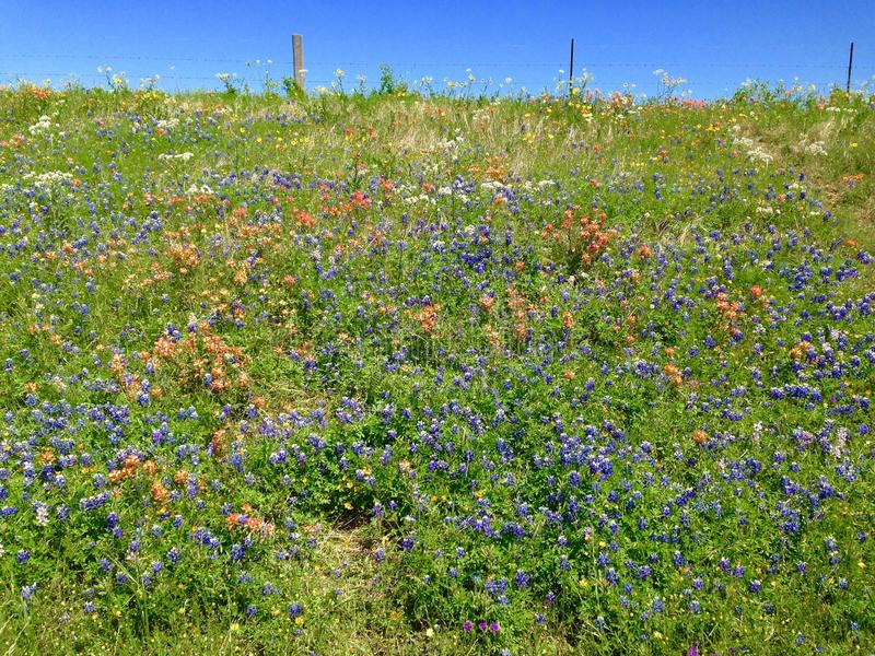 Blue bonnets royalty free stock images