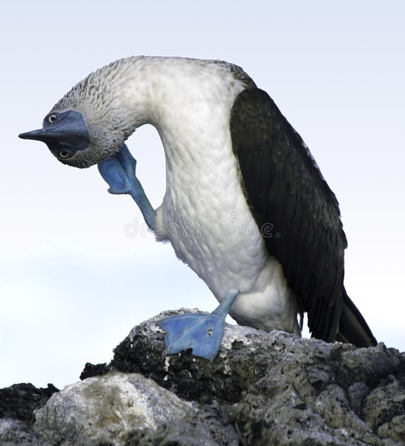 blue booby footed galapagos 库存照片