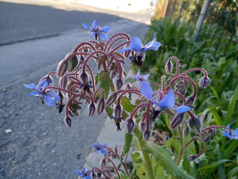 Blue Borage flowers in Cartaya province of Huelva in Spain. Andalucia royalty free stock photo