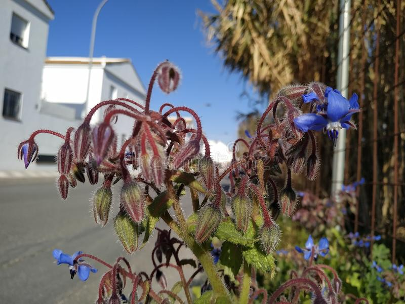 Blue Borage flowers in Cartaya province of Huelva in Spain. Andalucia royalty free stock photography