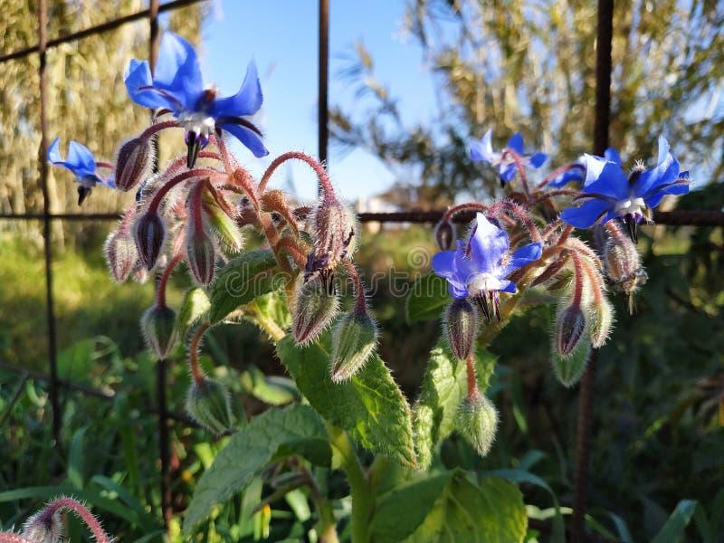Blue Borage flowers in Cartaya province of Huelva in Spain. Andalucia stock photos