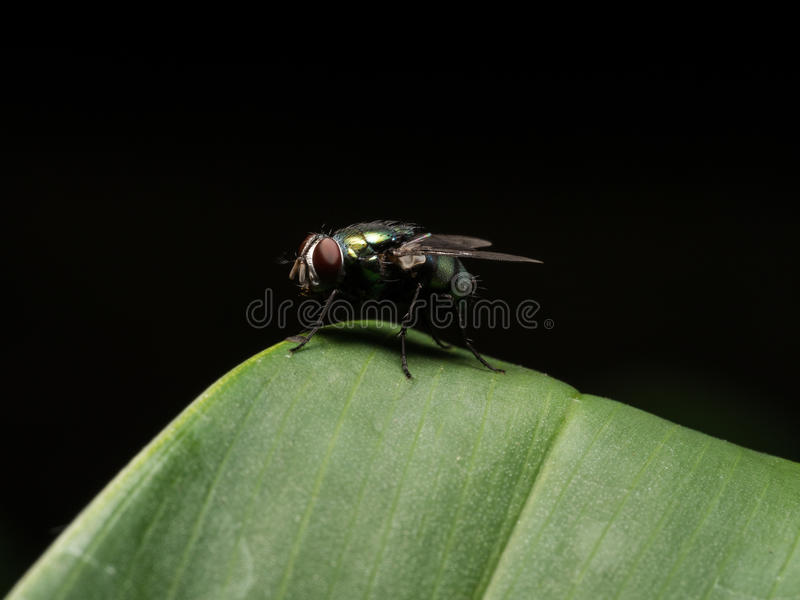 Blue Bottle Fly royalty free stock images