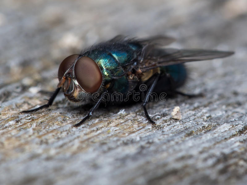 Blue Bottle Fly royalty free stock photography