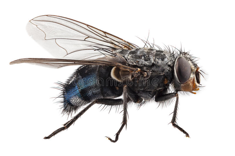 Blue bottle fly species calliphora vomitoria royalty free stock photos