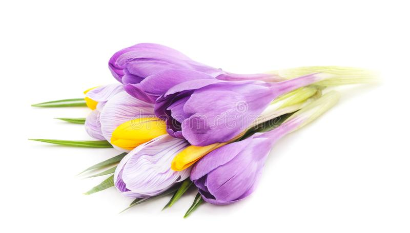 Blue bouquet of crocuses royalty free stock photo