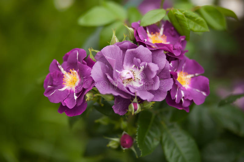 Blue boy, violet beautiful roses royalty free stock photo
