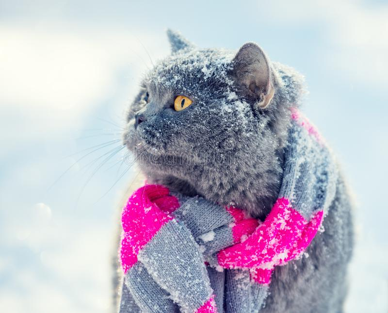 Blue British Cat wearing knitted scarf stock photos