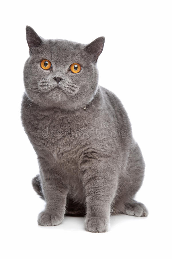 Download Blue British Shorthair cat stock photo. Image of background - 19450978