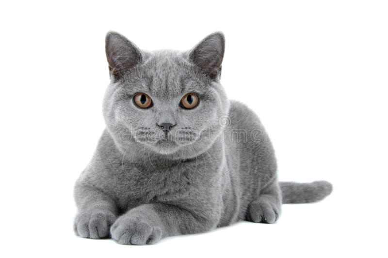 Blue British Shorthair cat stock photo
