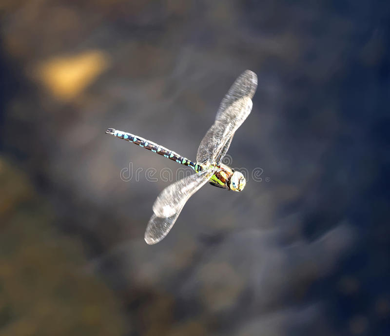 Blue and brown dragonfly flying royalty free stock photos