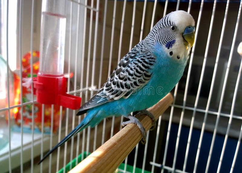 Blue budgerigar. Home Wavy parrot with blue plumage sits on a perch in a cage stock images