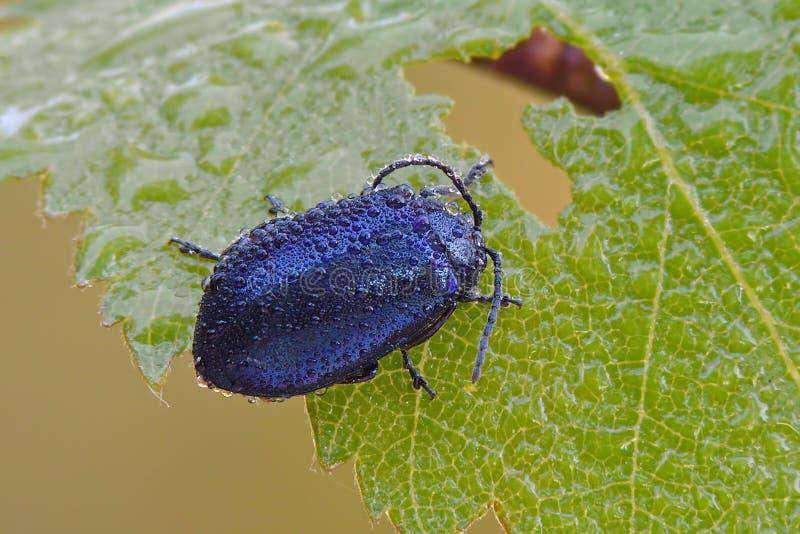 Download Blue bug stock photo. Image of beetle, gield, wildlife - 28436712