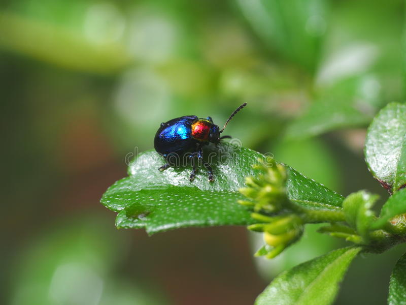 Blue bug on green leaves royalty free stock images
