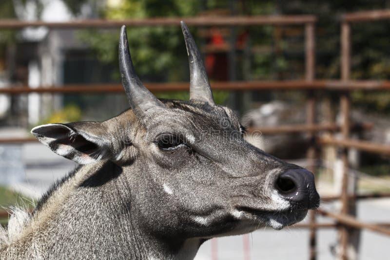 Blue bull stock photo