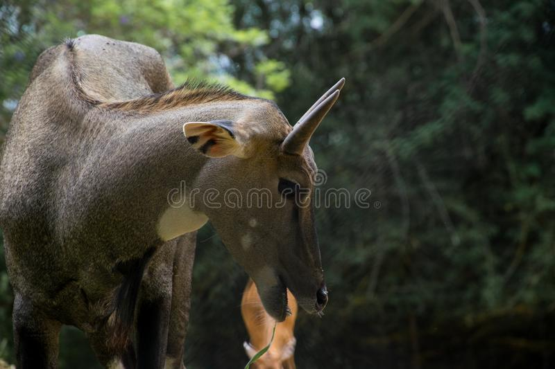 Blue bull, also known as, Nilgai in Bangalore, India. Blue bull, also known as, Nilgai observed at Banerghatta in Bangalore, India stock photos
