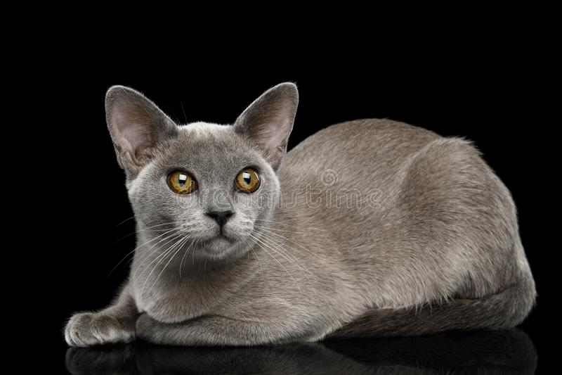 Blue Burmese Cat isolated on black background. Adorable Blue Burmese Cat with unusual eyes Lying on isolated on black background, side view royalty free stock image