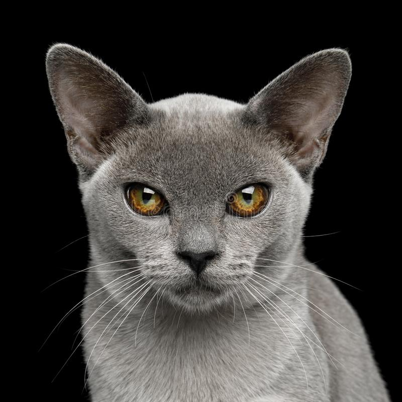 Blue Burmese Cat isolated on black background royalty free stock photography
