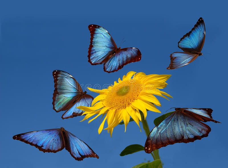 Blue butterflies dancing stock photography