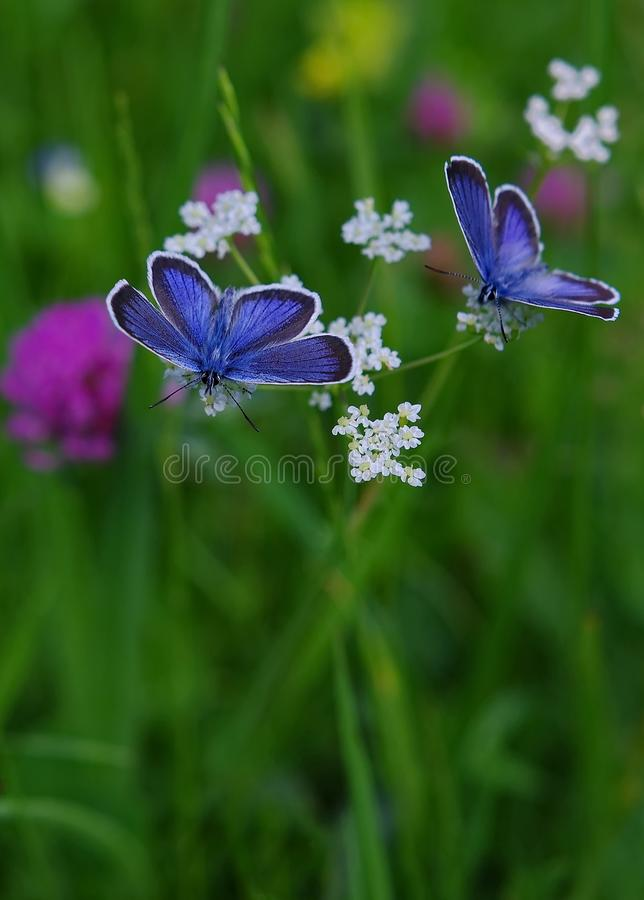 Blue butterflies. On wildflowers in the meadow