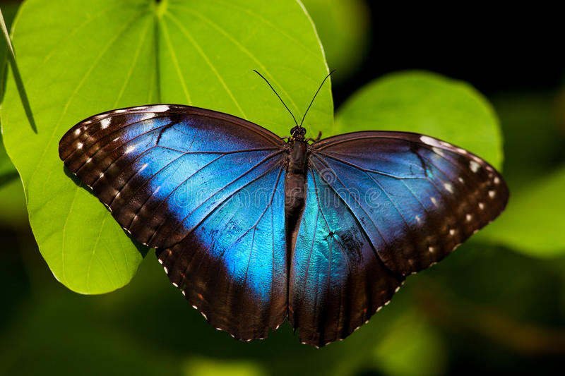 Blue Butterfly. A beautiful blue morpho butterfly perched on a leaf stock images