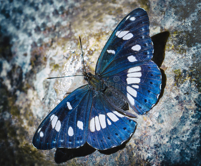 Blue butterfly royalty free stock photos