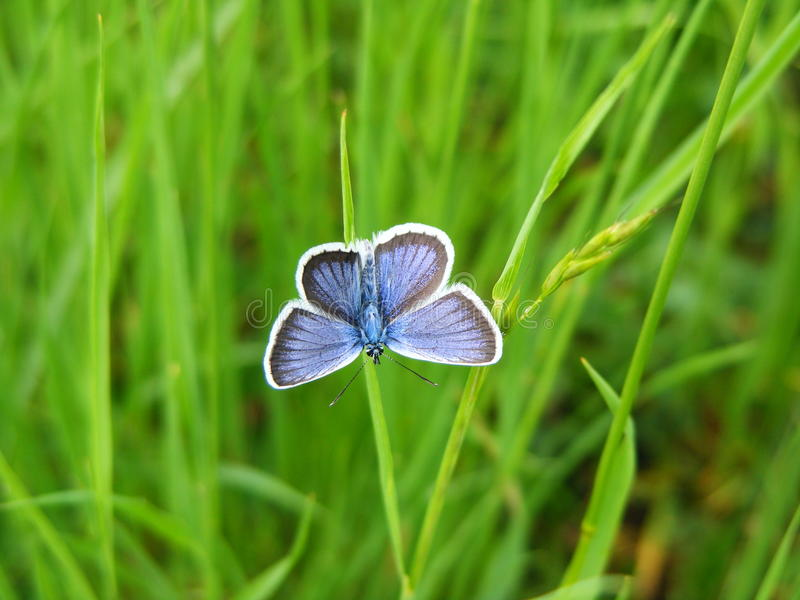 Blue butterfly. Beautiful blue butterfly on the Ukrainian fields royalty free stock photos
