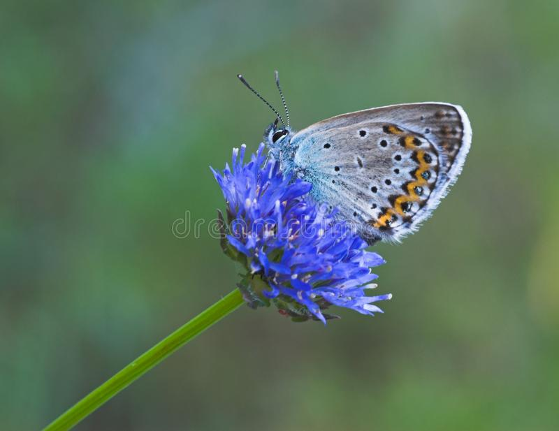 Blue Butterfly On Blue Flower Free Stock Photography