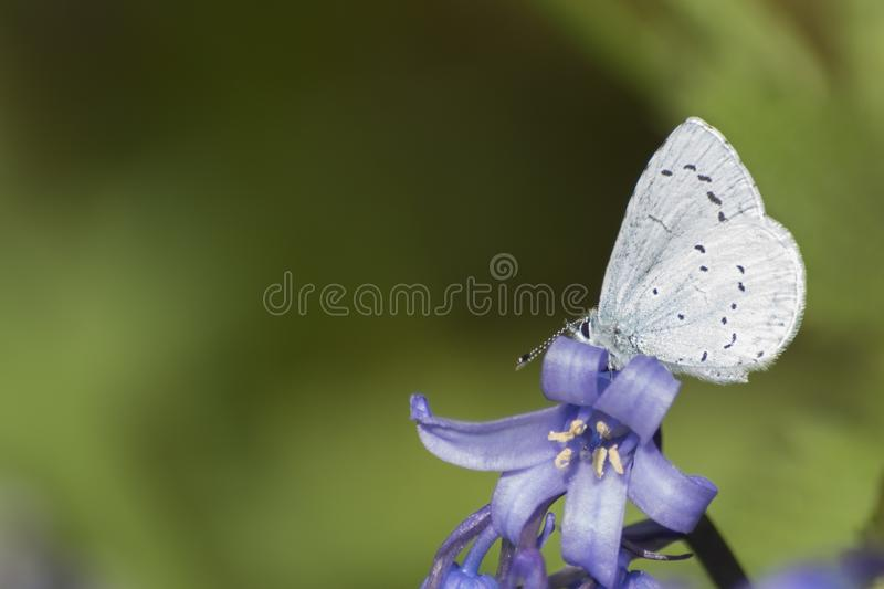 Download A Blue Butterfly  On A Bluebell Stock Photo - Image of butterfly, bluebell: 115969136