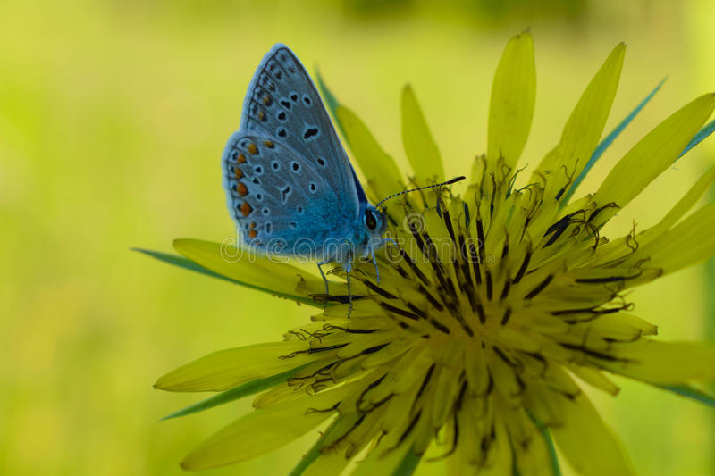 Blue butterfly stock photo