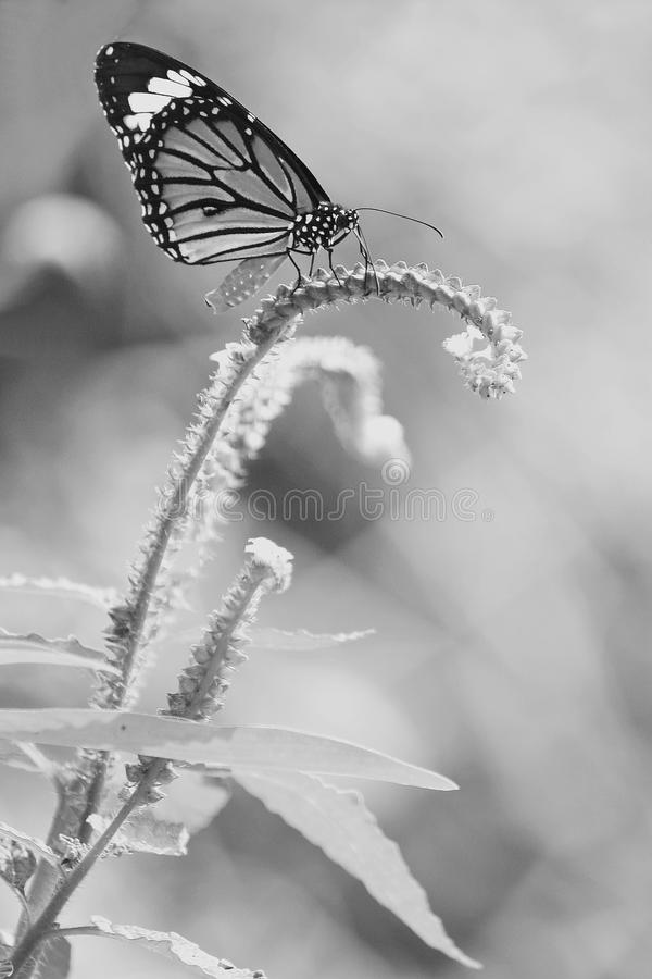 Blue butterfly fly in morning nature style black and white stock image