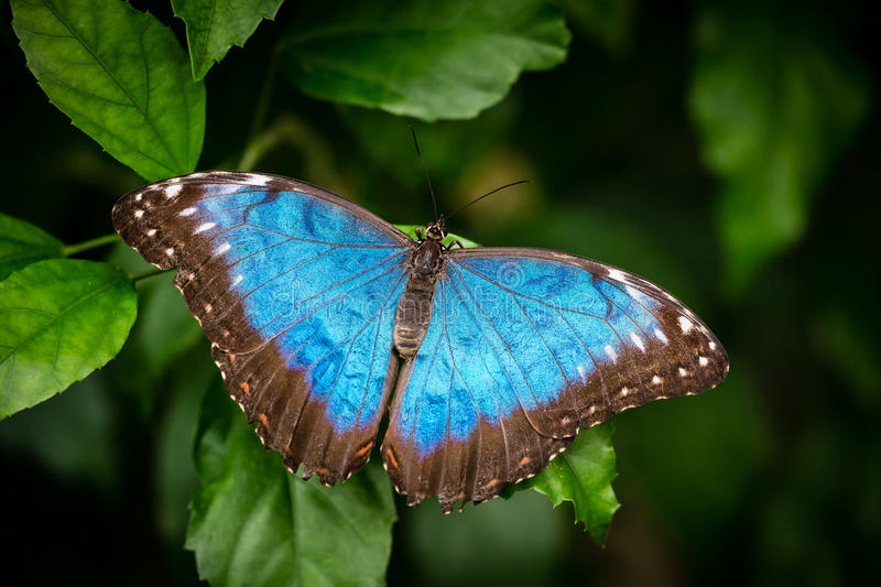 Blue butterfly on the green leaf stock photo