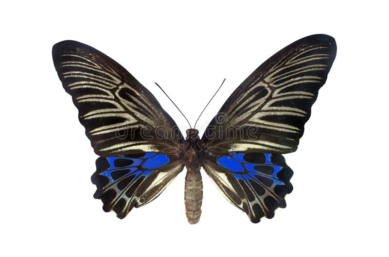 The Golden Birdwing. Blue Butterfly. Isolated on white background royalty free stock photography