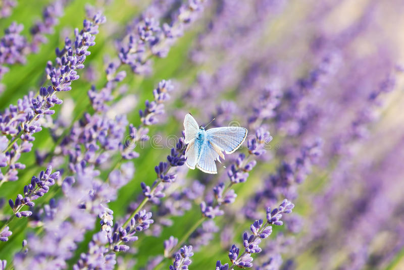 Blue butterfly and lavender flowers stock image