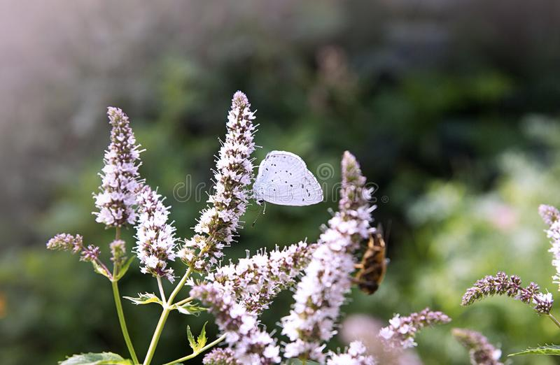 Blue butterfly on mint flower.  stock photos