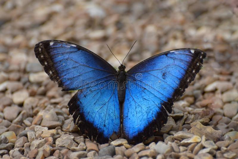 Blue Butterfly. Blue Morpho Tropical Butterfly with open wings. A blue morpho butterfly resting on the ground with its wings open stock image