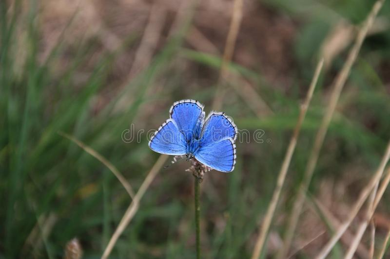 Blue, Butterfly, Moths And Butterflies, Flora royalty free stock photo