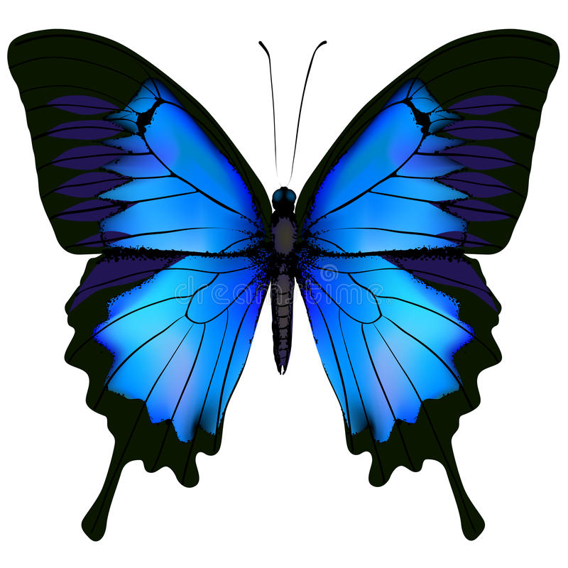 Blue butterfly papilio ulysses. Mountain Swallowtail isolated stock illustration