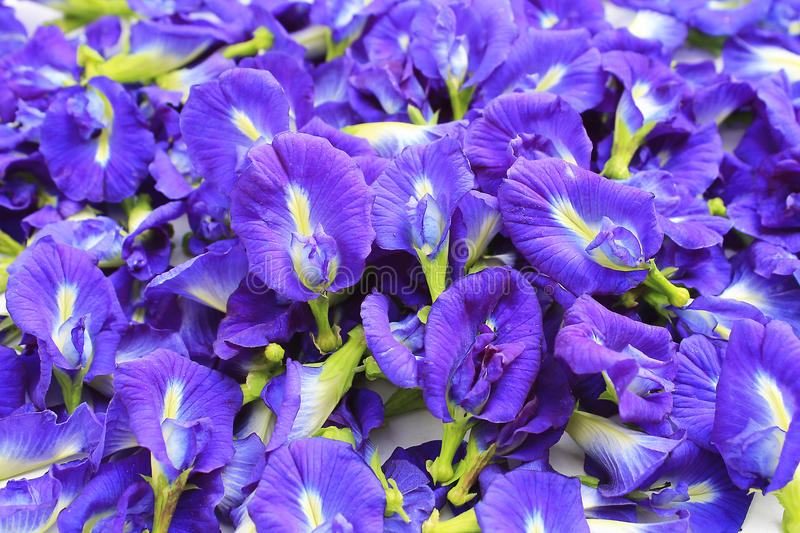 Download Blue Butterfly Pea Flowers Stock Photography - Image: 25259802