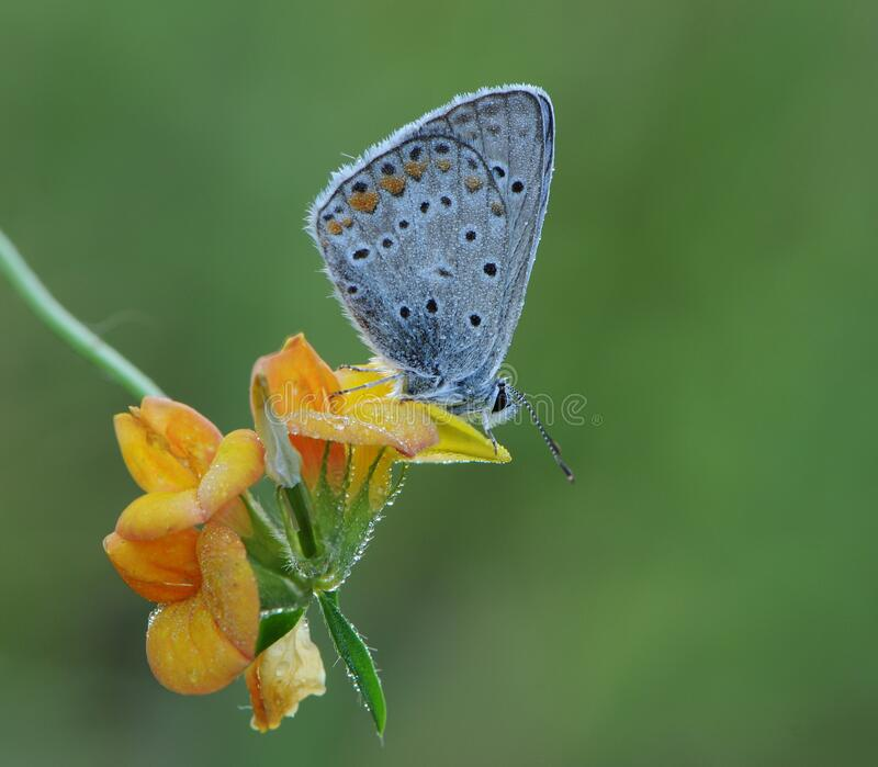 The blue butterfly Polyommatus icarus in the early morning in a clearing among forest flowers in a clearing in dew. The common blue butterfly Polyommatus icarus royalty free stock photography