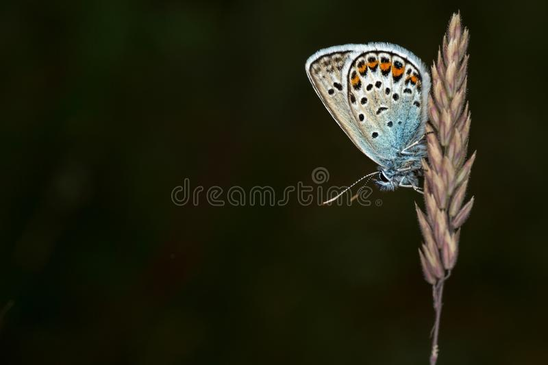 blue butterfly silver studded στοκ φωτογραφία με δικαίωμα ελεύθερης χρήσης