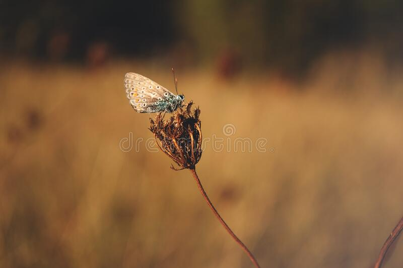 Blue Butterfly Standing On Brown Flower Bud Free Public Domain Cc0 Image