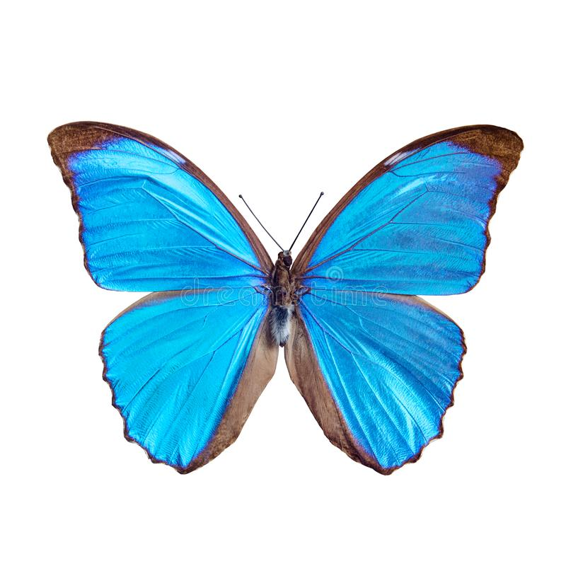 Blue butterfly tropical Morpho menelaus, Brasil royalty free stock images