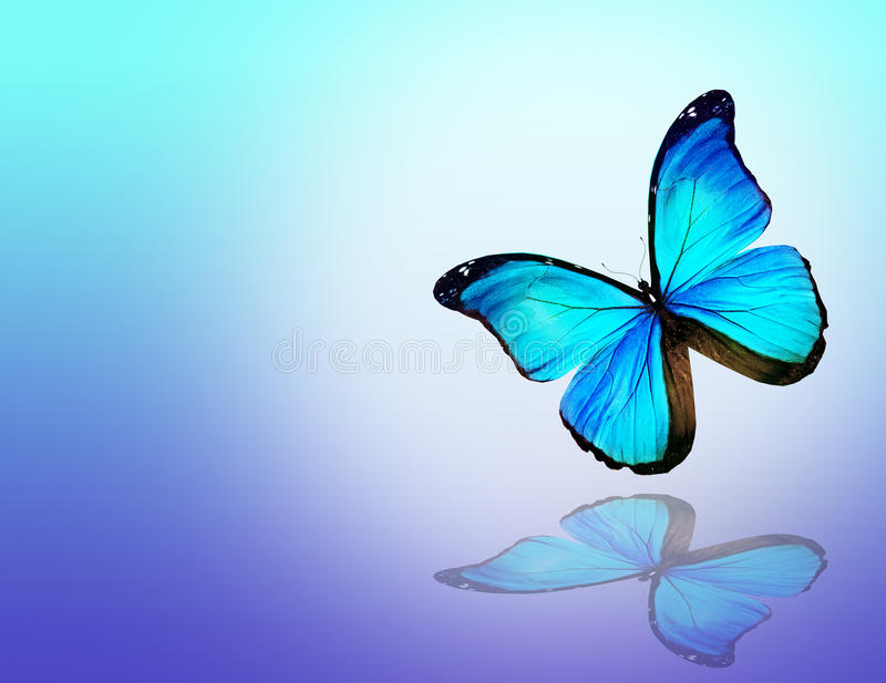 Blue butterfly on white background royalty free illustration