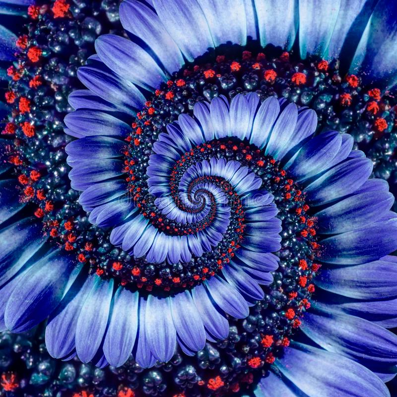 Blue camomile daisy flower spiral abstract fractal effect pattern background. Blue violet navy flower spiral abstract pattern royalty free stock image