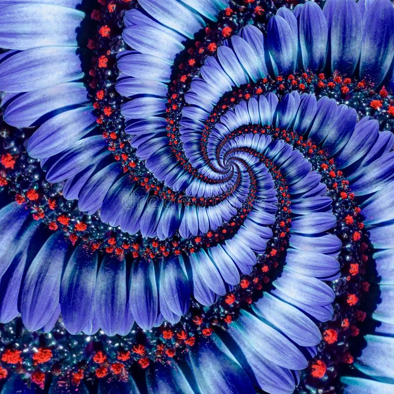 Blue camomile daisy flower spiral abstract fractal effect pattern background. Blue violet navy flower spiral abstract pattern stock photography