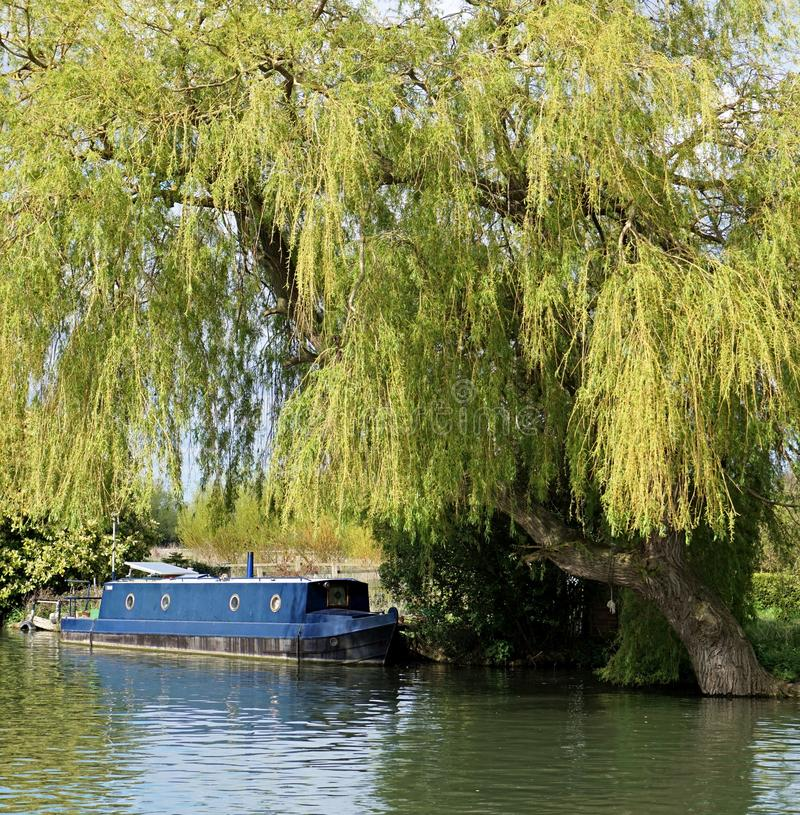 Blue Canal Boat Beneath A Weeping Willow Tree. A blue narrow boat moored beneath a large weeping willow (Salix babylonica) tree alongside the River Cam, near royalty free stock photos