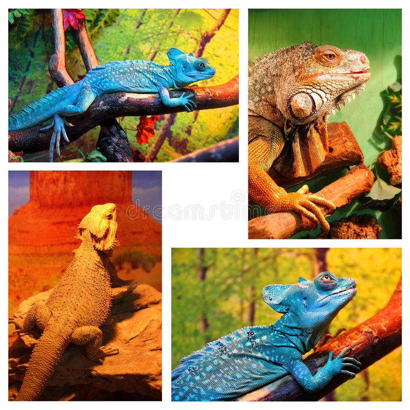 Blue chameleon, Iguana, Bearded agama. A set of four images of different reptiles inside a terrarium - Blue chameleon, Iguana, Bearded agama royalty free stock image