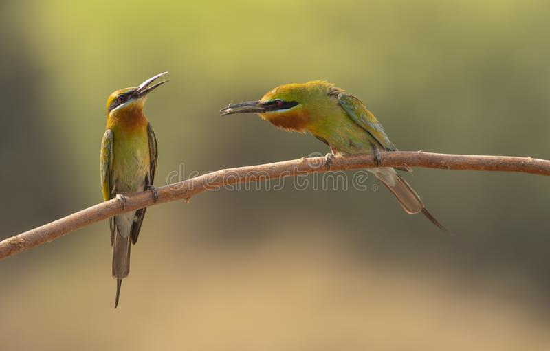 Blue-cheeked bee-eater Feeding royalty free stock image
