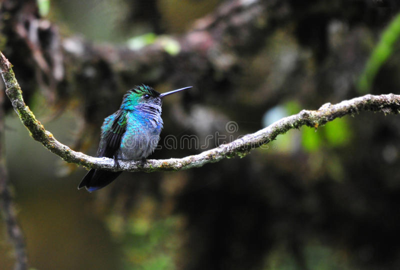 Blue-chested Hummingbird stock photos