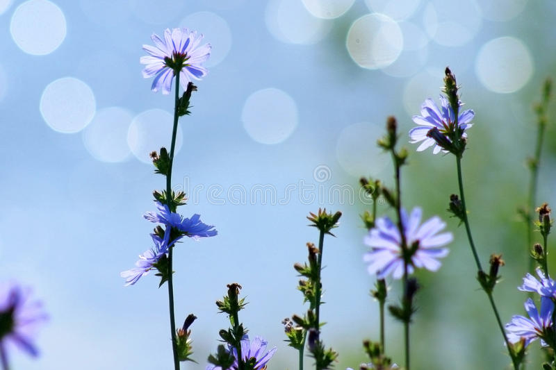 Blue chicory. In focus at the foreground and water at the background is blur royalty free stock images
